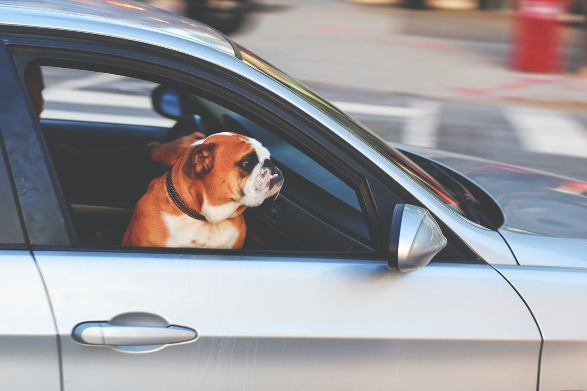 How to Traveling Safely With Large Dogs